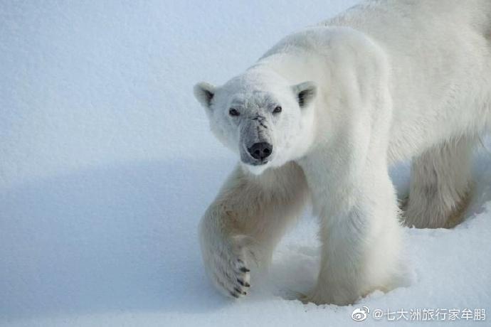 【图库】牟鹏:北极熊