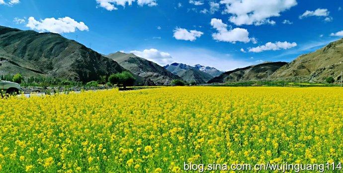 世界屋脊雪域高原上盛开的油菜花